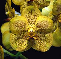 Орхидея ванда, подросток без цветов. Сорт Vanda Somsri thai spot, фото 1
