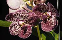 Орхидея ванда, подросток без цветов. Сорт Vanda Kulwadee fragrant black, фото 1