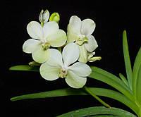 "Подростки орхидеи. Ванда Ascda. Princess Micasa white без цветов, размер 1.7""."
