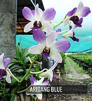 """Подростки орхидеи. Den Aridang blue без цветов, размер 1.7""""."""
