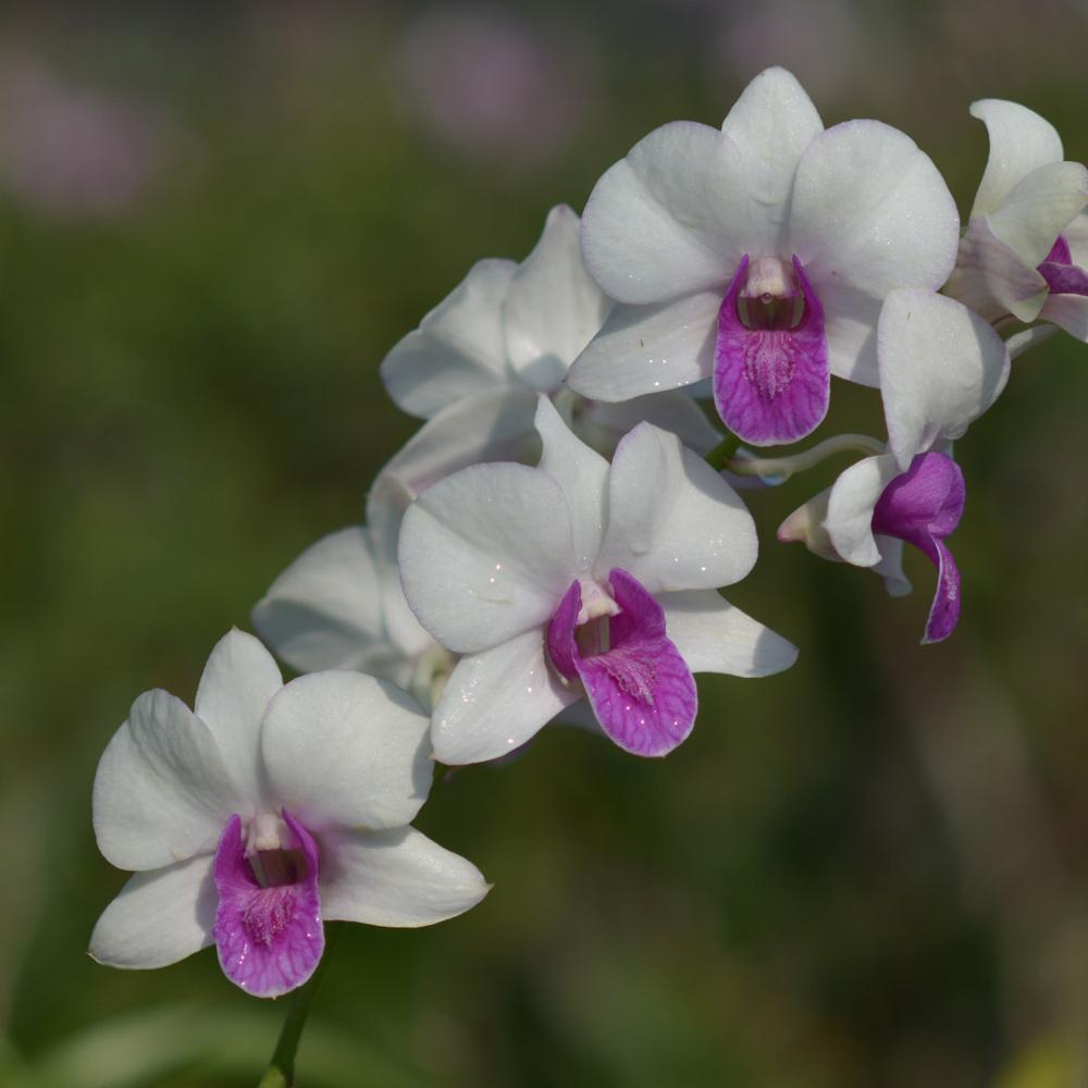 "Подростки орхидеи. Den Charming white без цветов, размер 1.7""."