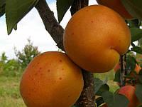 Саженцы абрикоса  Харгранд (поздний)