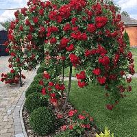 Троянда на штамбі Скарлет Мейяндекор