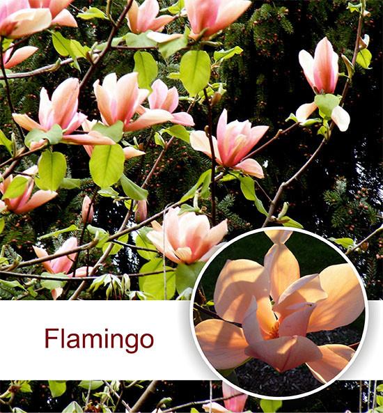 Магнолия 'Flamingo', (h 160-170)