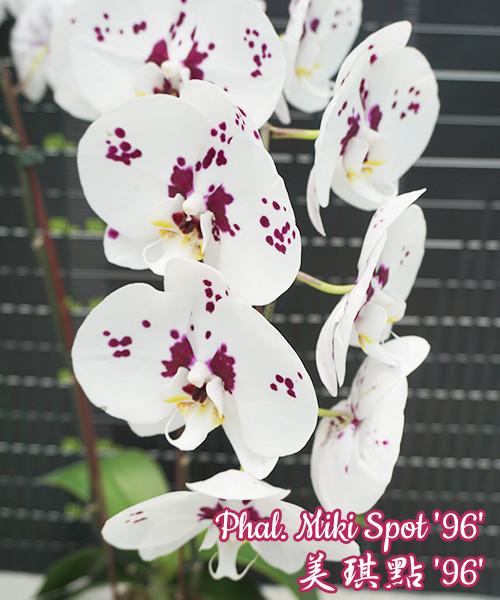 """Уценка, мех травмы. Орхидеи, размер 2,5"""" без цветов Сорт Phal. Miki Spot 96"""