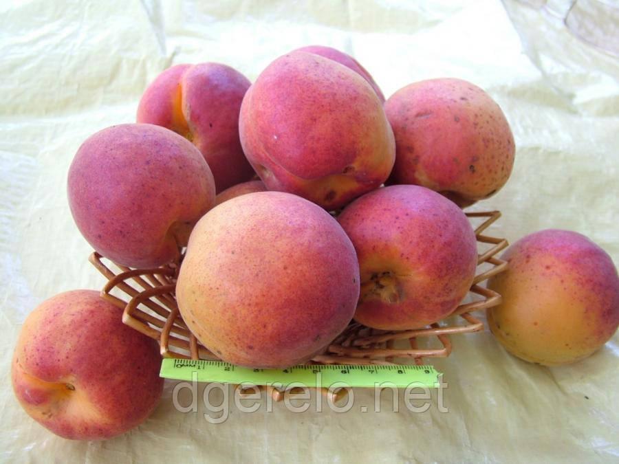 Крупноплодный Дуки, саженцы абрикоса позднего