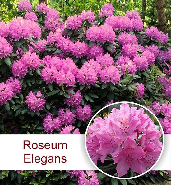 """Рододендрон """"Roseum Elegans"""" в контейнере 0.5л"""