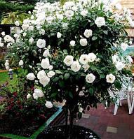 Троянда на штамбі Крістал