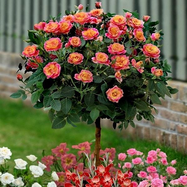 Троянда на штамбі Бріоза