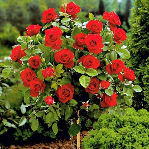 Троянда на штамбі Ребел