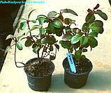 Рододендрон Scarlet Wonder (Алое чудо) горш 1.5л, фото 7