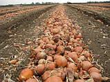 Семена лука УНИВЕРСО F1, 100 тыс.семян, фото 3