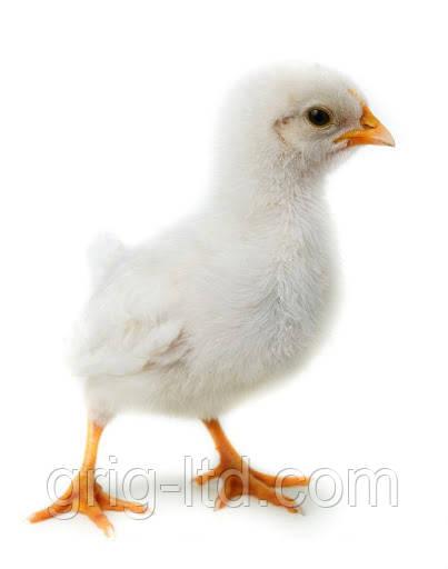 Суточные цыплята породы Адлерская серебристая