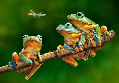 """Пазли Castorland """"Компанія жаб"""", 500 елементів, 47*33, В-52301"""