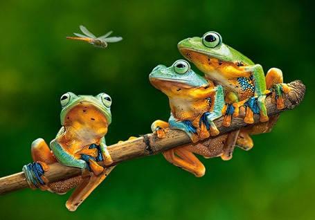 """Пазли Castorland """"Компанія жаб"""", 500 елементів, 47*33, В-52301, фото 2"""