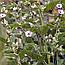 Алтея лікарська корінь (Алтей лекарственный корень), 50г, фото 2