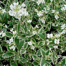 Арабис альпийский (резуха) вариегата