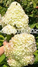 Гортензія метельчата Diamantino 2 річна, Гортензия метельчатая Диамантино, Hydrangea paniculata Diamantino, фото 2