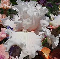 Ирис DRIFTING BUBBLES, фото 1