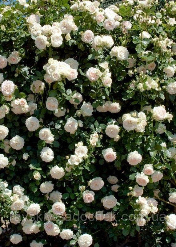 Роза плетистая Мон Блан класс А