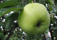 Яблоня (однолетка) Белый Налив