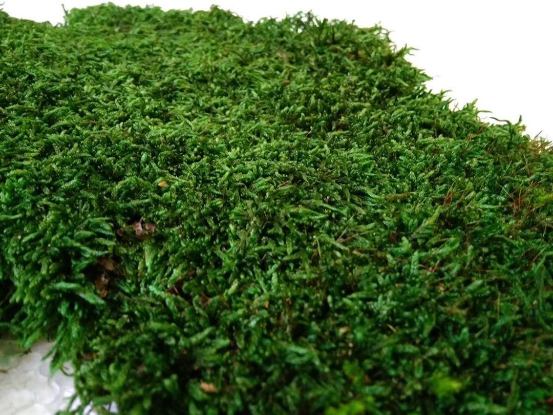 Стабілізований плоский мох зеленого кольору 1 кг