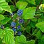 Ожина сиза листя (Ежевика сизая листья),  50г, фото 2