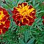Чорнобривці квіти (Бархатцы цветы),  50г, фото 2