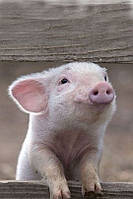 Ферма для разведения свиней 1000 свиноматок Growket