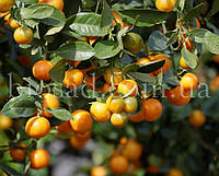"Кумкват ""Маруми"" (Kumquat Marumi)/(Fortunella japonica)"