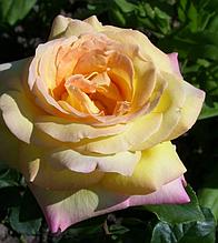 Роза штамбовая Глория Деи (Gloria Dei)