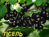 """Саженцы черной смородины """"Тисель"""" (ЗКС) 2 г."""