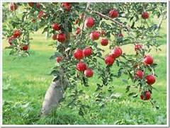 Особенности выращивания фруктовых деревьев
