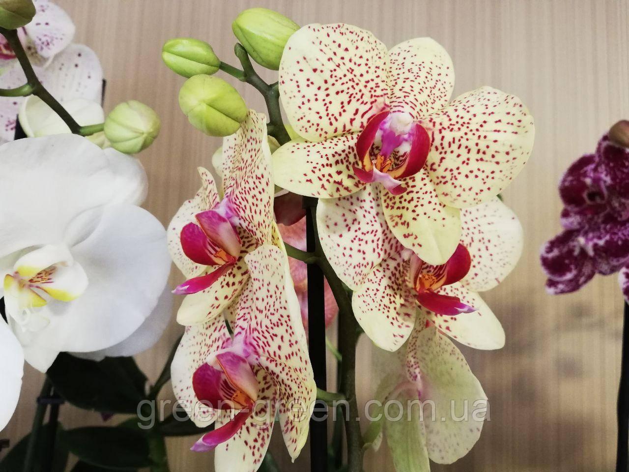 Орхідея Фаленопсис лимонна плямиста
