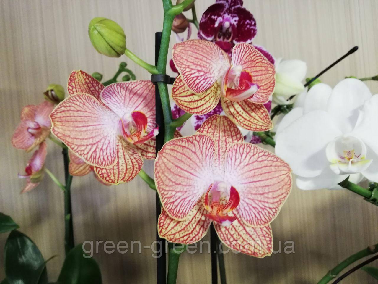 Орхидея Фаленопсис Moth orchid