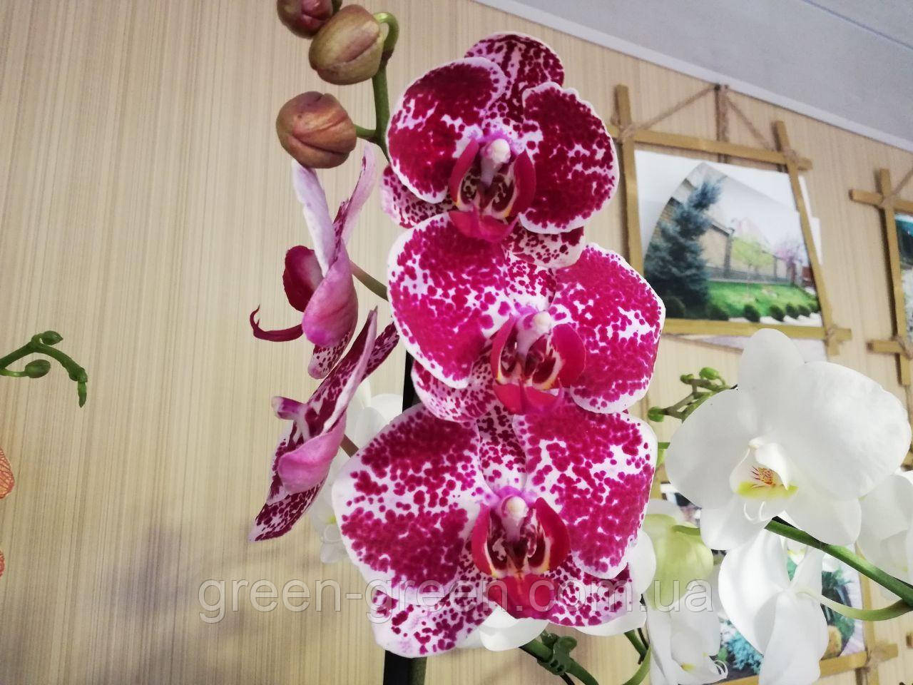 Орхидея Фаленопсис сиреневая пятнистая