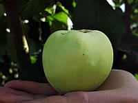 Саджанці яблунь Антонівка, фото 1
