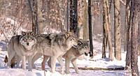 Фотообои 3Д волки в лесу разные текстуры , индивидуальный размер