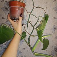 Монстера Борзига. Комнатное растение
