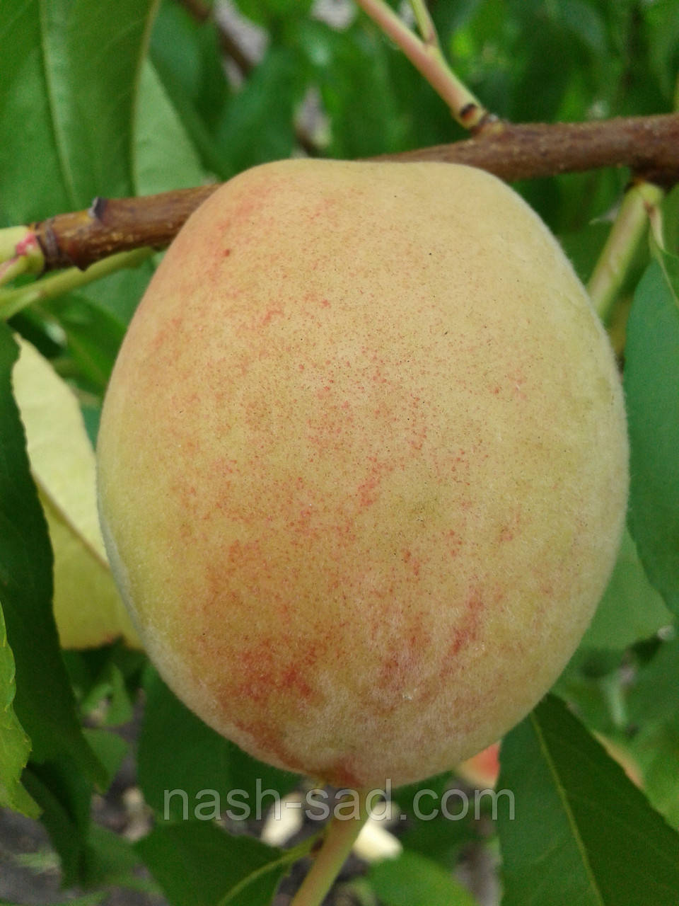 Саженцы персика Память Шевченка (Украина)