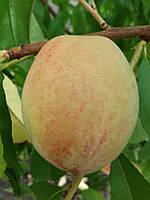Саженцы персика Память Шевченка (Украина), фото 1