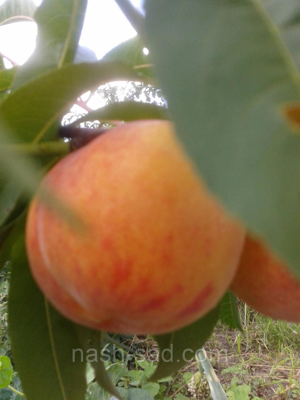Саженцы персика Ред Хейвен (США)