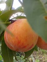 Саженцы персика Ред Хейвен (США), фото 1