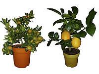 Цитрусовые растения (мандарин, лимон, апельсин)