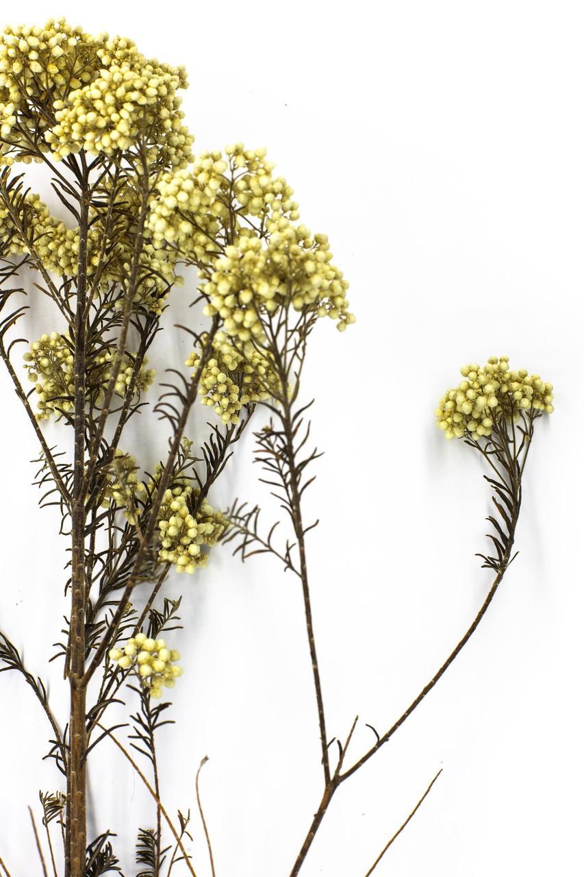 Діосмін (безсмертник ) жовтий