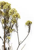 Діосмін (безсмертник ) жовтий, фото 1