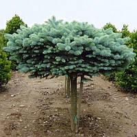Ель колючаяна штамбе 60 см Глаука Глобоза  (Picea pungens Glauca Globosa)