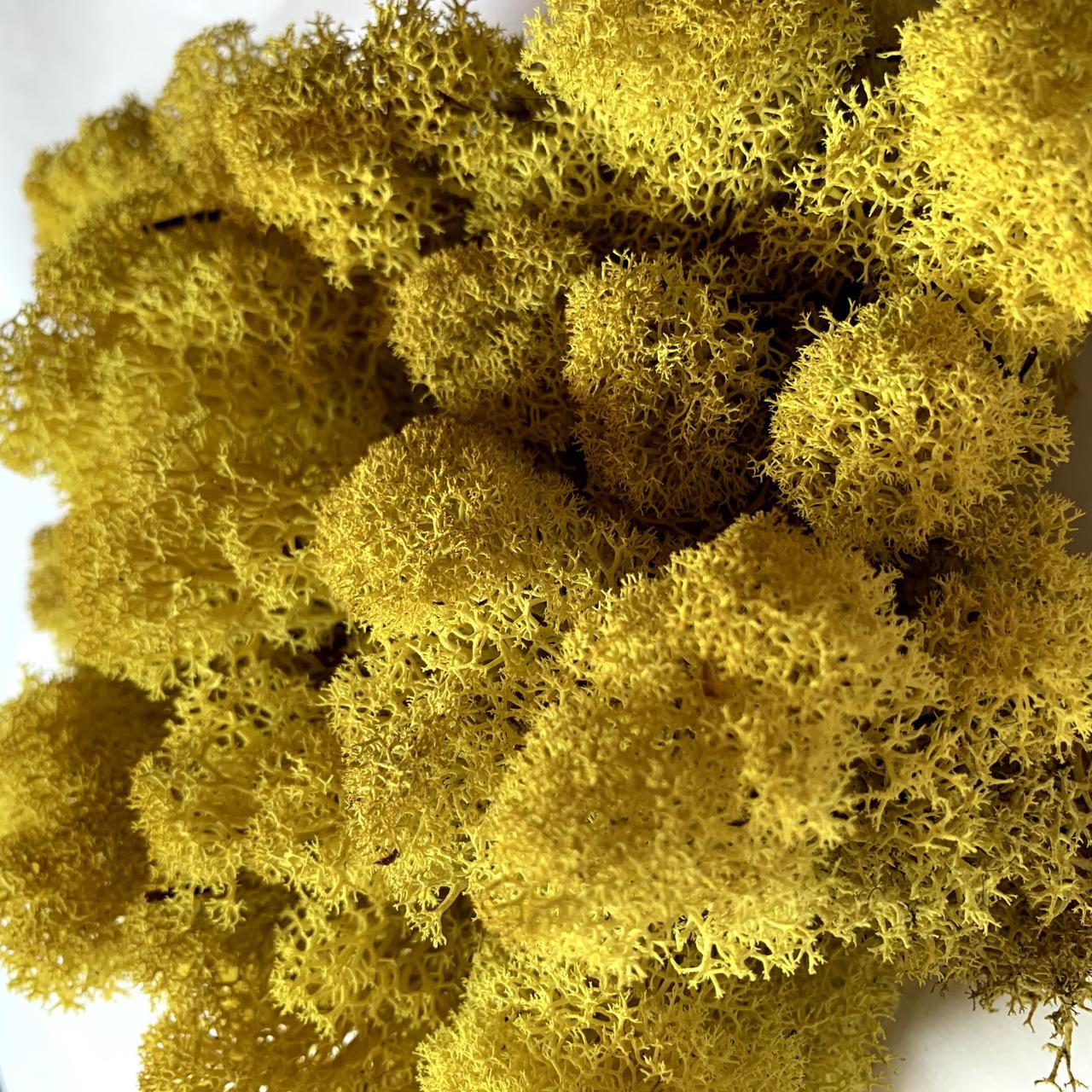 Скандинавский мох ягель желтый