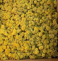 Скандинавский мох ягель желтый, фото 1