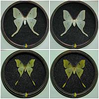 "Набор бабочек в рамках ""Saturniidae"""